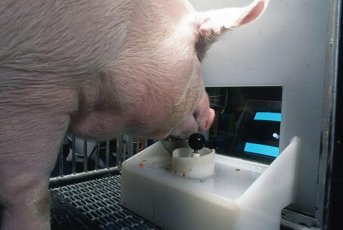 Naukowcy nauczyli świnie grać w gry wideo. Zwierzęta zaskoczyły swoim sprytem i inteligencją
