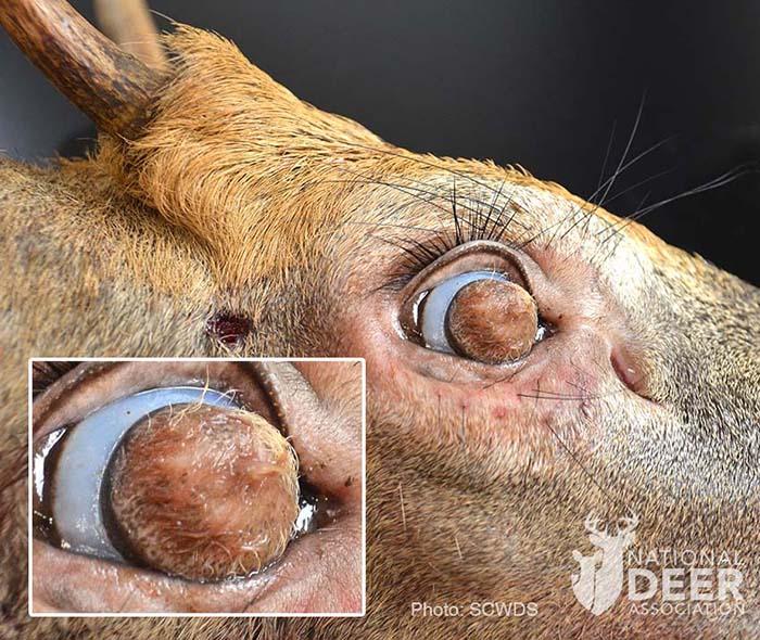 Niebywale rzadki stan spowodował, że na gałkach ocznych jelenia wyrosły gęste włosy