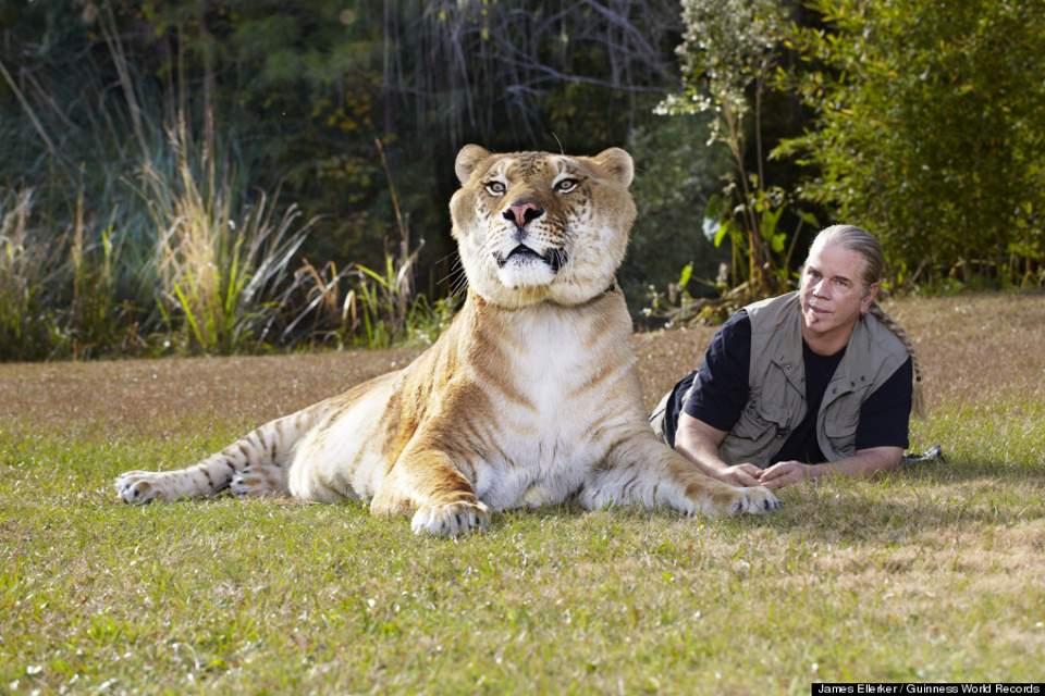 Oto legrys Herkules, największy żyjący dziki kot na świecie. Jego rozmiar oszałamia