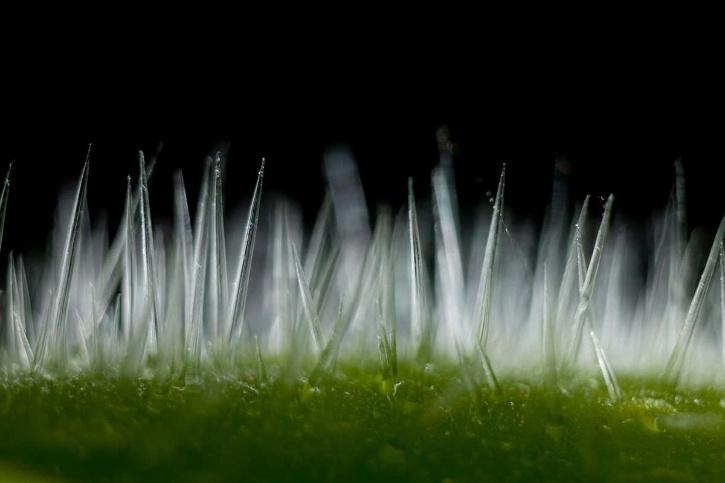 Gympie Gympie, czyli śmiertelnie niebezpieczna roślina, która może doprowadzić do samobójstwa
