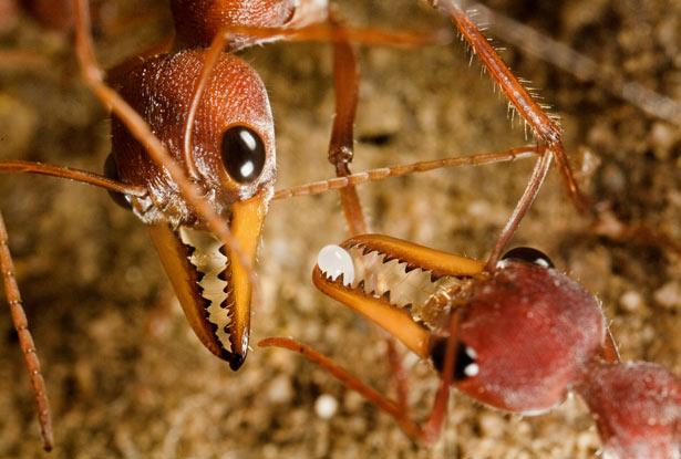 Myrmecia, czyli najniebezpieczniejsze mrówki świata. Są w stanie zabić dorosłego człowieka