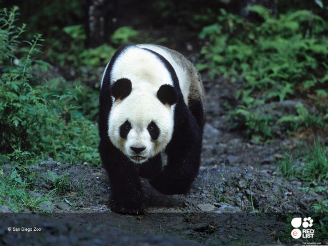 Pandy wielkie żyjące na wolności nie są dłużej zagrożone wyginięciem. To doskonała wiadomość!