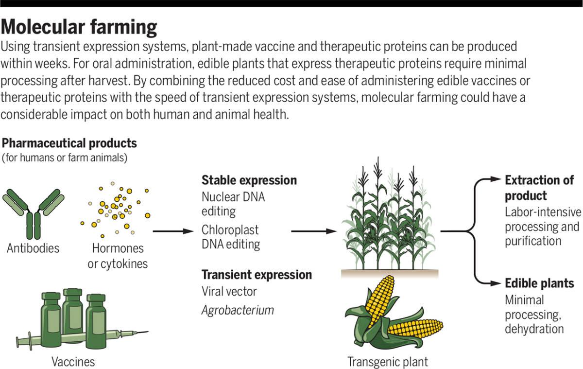 Pewnego dnia szczepionki mogą być jadalne. Wszystko dzięki niezwykłym właściwościom roślin