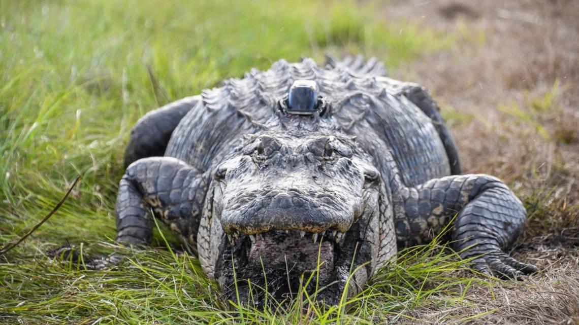 Ludzkie szczątki zostały znalezione w aligatorze. Gad zaatakował mężczyznę podczas huraganu