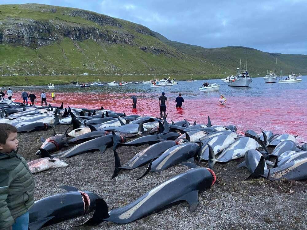 Krwawe sceny na Wyspach Owczych. Podczas rzezi delfinów zginęło ponad 1400 zwierząt
